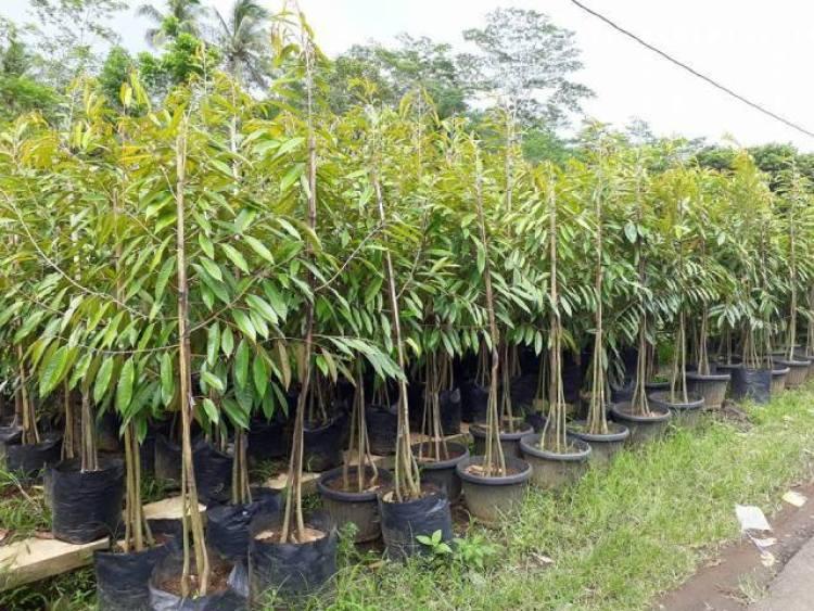 cara menanam durian bawor