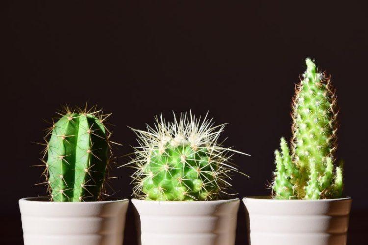 cara menanam kaktus mini