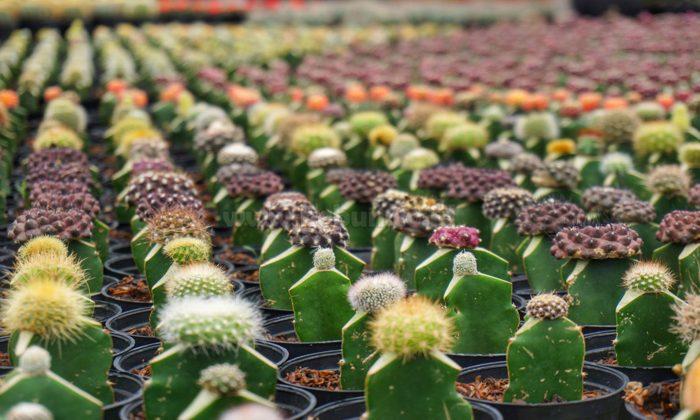 Cara Menanam Kaktus : 5 Tips Mudah Agar Kaktus Cepat Tumbuh