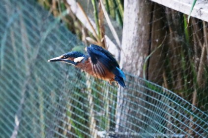 Kingfisher fledgling 7th July 2016 crop(5)
