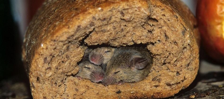 Infestazione Di Ratti Nel Tuo Ristorante Ecco Cosa Puoi Fare