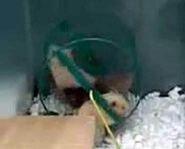 Funny Hamster - 1506487293 funny hamster