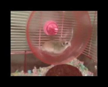2 Funny Hamsters wheel fails (criceti divertenti) - 2 funny hamsters wheel fails criceti divertenti