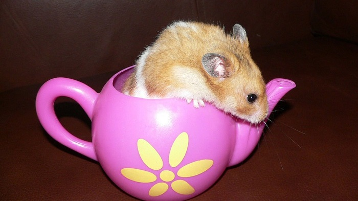 Can Hamsters Drink Milk?
