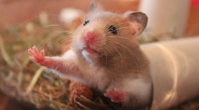 Do Dogs Like To Eat Hamsters