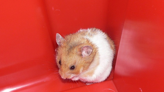 Can Hamsters Eat Meat