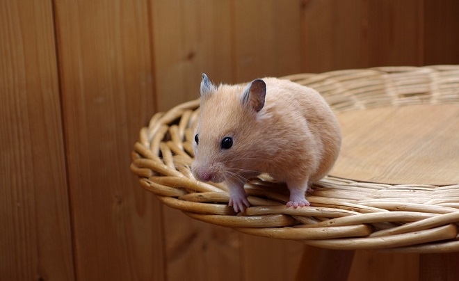 Do Hamsters Have Tails?