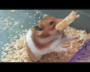 Cute golden hamster doing funny and crazy things compilation Vol. 18 - cute golden hamster doing funny and crazy things compilation vol 18