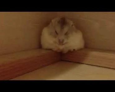 Cute hamster sleeping - cute hamster sleeping