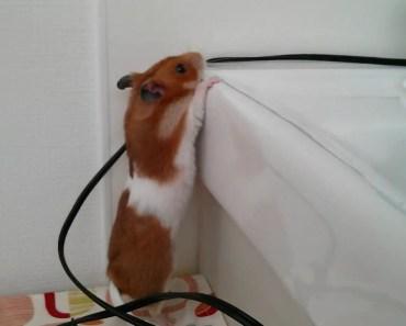 Cute Tiny Hamster Doing Funny Things - cute tiny hamster doing funny things