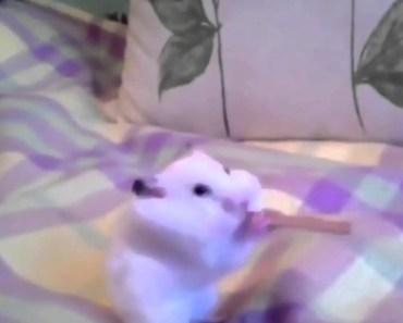 Epic Hamster Eats Entire Cinnamon Stick Challenge! Epic Funny Video! - epic hamster eats entire cinnamon stick challenge epic funny video