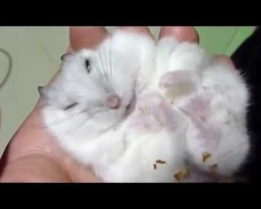 Fat hamster eat then sleep | Funny Hamster | Hamster Cute Pets | Pets - fat hamster eat then sleep funny hamster hamster cute pets pets