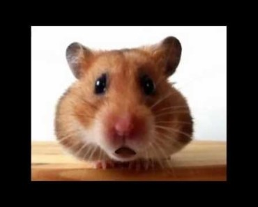 Funny Christmas Songs - Jingle Bells (Waddles the Hamster) - funny christmas songs jingle bells waddles the hamster