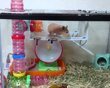 Funny gold hamster trying to climb the cage - funny gold hamster trying to climb the cage