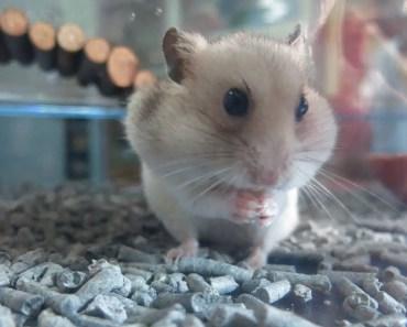 Funny Hamster Campbell - funny hamster campbell