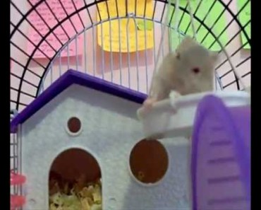 Funny Hamster falling down - Caidas graciosas de animales - funny hamster falling down caidas graciosas de animales