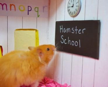 Funny Hamster Goes To School! - Cupcake HamHam Show! - Hamster School - funny hamster goes to school cupcake hamham show hamster school