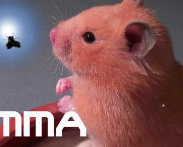 FUNNY HAMSTER - hamster with insect - Mrs. Emma the Hamster - bathing so cute, sweet HD - funny hamster hamster with insect mrs emma the hamster bathing so cute sweet hd