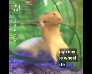 Funny Hamster in Wheel fail - funny hamster in wheel fail