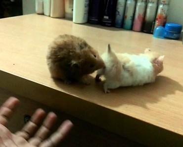 Funny hamster mating..!! - funny hamster mating