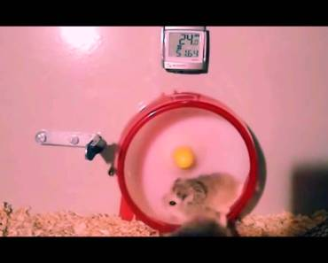 funny hamster moments - funny hamster moments