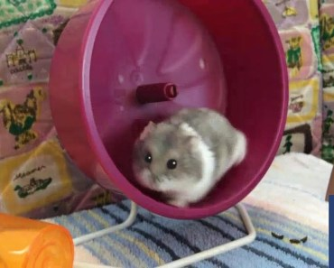 Funny Hamsters are Trying New Running Wheel - Part 1 - funny hamsters are trying new running wheel part 1