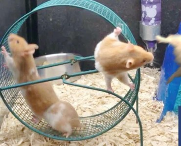 Funny Hamsters are Trying New Running Wheel - Part 2 - funny hamsters are trying new running wheel part 2