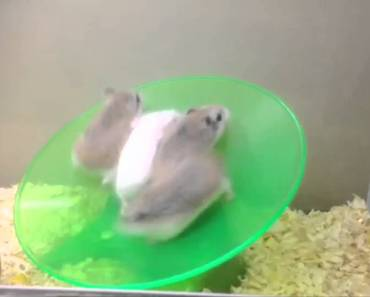 Funny Roborovski hamsters on a wheel xD - funny roborovski hamsters on a wheel