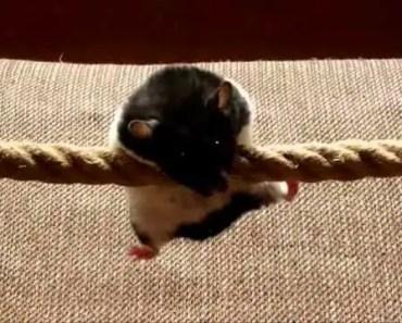 Hamster commando (funny hamster Idi doing tricks on a rope) - hamster commando funny hamster idi doing tricks on a rope