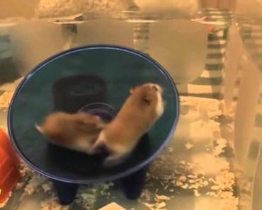 Hamster Flipping on Magic Wheels Funny Animal Compilation - hamster flipping on magic wheels funny animal compilation