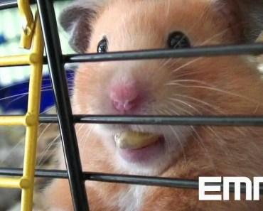 "Hamster sooo cute ! Mrs. EMMA the HAMSTER (42) funny animal ""nom nom nom"" bgt 2012 - hamster sooo cute mrs emma the hamster 42 funny animal nom nom nom bgt 2012"
