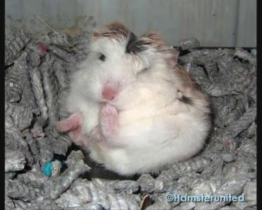 Really cute and funny hamster sleeping positions, part 2! - really cute and funny hamster sleeping positions part 2