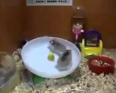 Robo hamster funny moment - robo hamster funny moment