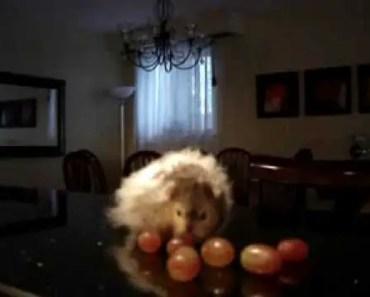 Siberian Hamster Eating Storing many Grapes Funny - siberian hamster eating storing many grapes funny