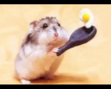 Śmieszne Chomiki - Funny Hamster - smieszne chomiki funny hamster