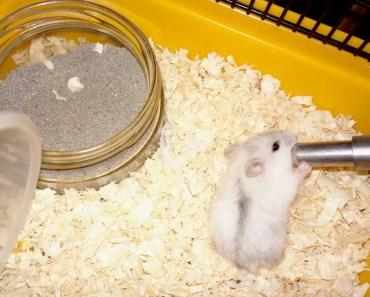 Tiny The Winter White Pearl Dwarf Hamster: Taming Tiny + Why No Funny Hami Vids? - tiny the winter white pearl dwarf hamster taming tiny why no funny hami vids