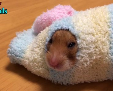 Funny Hamsters - A Cute And Funny Hamster Videos Compilation 2017 - 1507912472 funny hamsters a cute and funny hamster videos compilation 2017