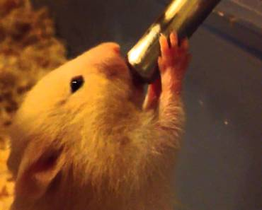 Baby Hamster Drinking Water - baby hamster drinking water