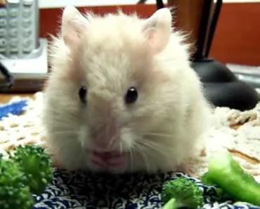 Baby Teddy Bear Hamster Eating Green Bell Pepper - baby teddy bear hamster eating green bell pepper