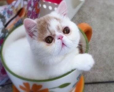 Cute Shorthair Kittens Compilation - Cutest Kittens Ever! - cute shorthair kittens compilation cutest kittens ever