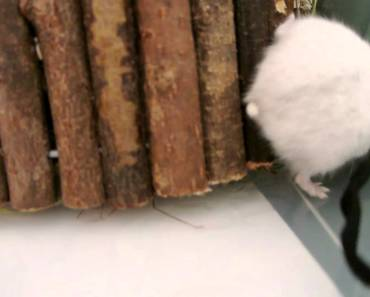 Cute Winter White Hamster, drinks, plays and tries to escape (?) - cute winter white hamster drinks plays and tries to escape