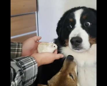 Dog Is Not Amused With Hamster - dog is not amused with hamster