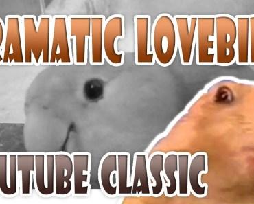 DRAMATIC LOOK LOVEBIRD | Youtube Classic Dramatic Gopher / Hamster / Prairie Dog / Chipmunk / Beaver - dramatic look lovebird youtube classic dramatic gopher hamster prairie dog chipmunk beaver
