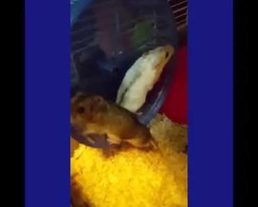 Funny alwarf hamsters running on wheel - funny alwarf hamsters running on wheel