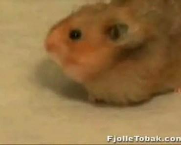 Funny Animals: Hamster cheeks? - funny animals hamster cheeks