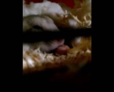 Funny cute Hamster Clip - funny cute hamster clip