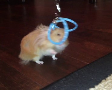Funny Hamster Acts Like a Cat - funny hamster acts like a cat