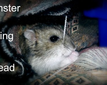 Funny Hamster Eating Thread - funny hamster eating thread
