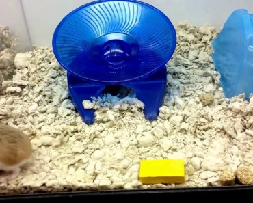 ***** Funny Hamster, Exercising !!!!!!!!!!!! - funny hamster