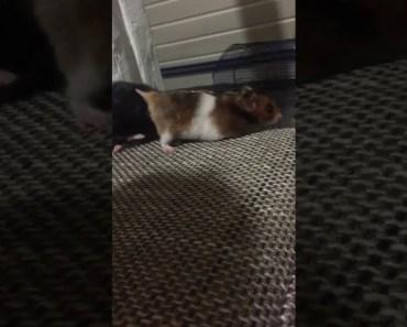 Funny HAMSTER fail. - funny hamster fail